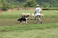 Sheep_011