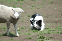 Sheep_042