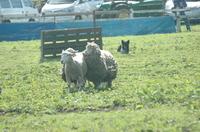 Sheep_083