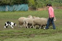 Sheep_195