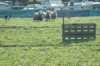 Sheep_199