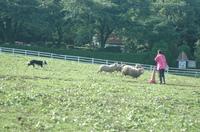 Sheep_223