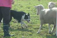 Sheep_234