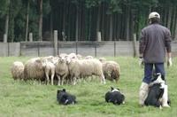 Sheep_258