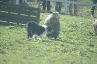 Sheep_267