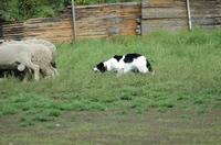 Sheep_271