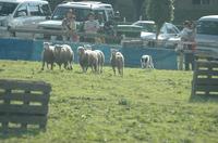 Sheep_292