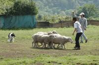 Sheep_297