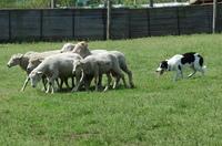 Sheep_308