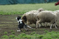 Sheep_312