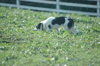 Sheep_323